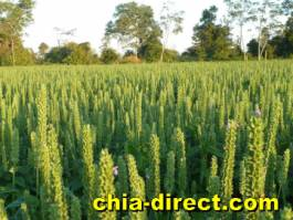 ernte feld chia-direct.com